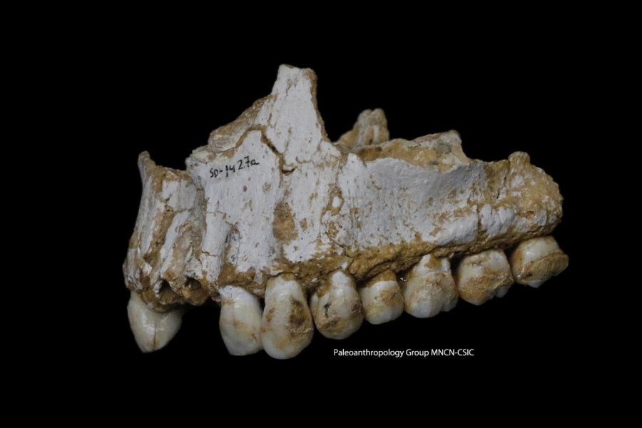 Oberkieferfragment eines Neandertalers