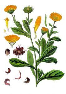 Ringelblume. Zeichnung von Franz Eugen Köhler, Köhler's Medizinal-Pflanzen - List of Koehler Images, Gemeinfrei.