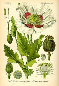 Schlafmohn. Prof. Dr. Otto Wilhelm Thomé Flora von Deutschland, Österreich und der Schweiz 1885, Gera, Germany. Gemeinfrei