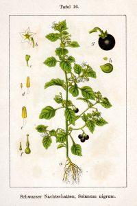 Schwarzer Nachtschatten. Von Johann Georg Sturm (Painter: Jacob Sturm) - Fig. from book Deutschlands Flora in Abbildungen. at http://www.biolib.de, Gemeinfrei